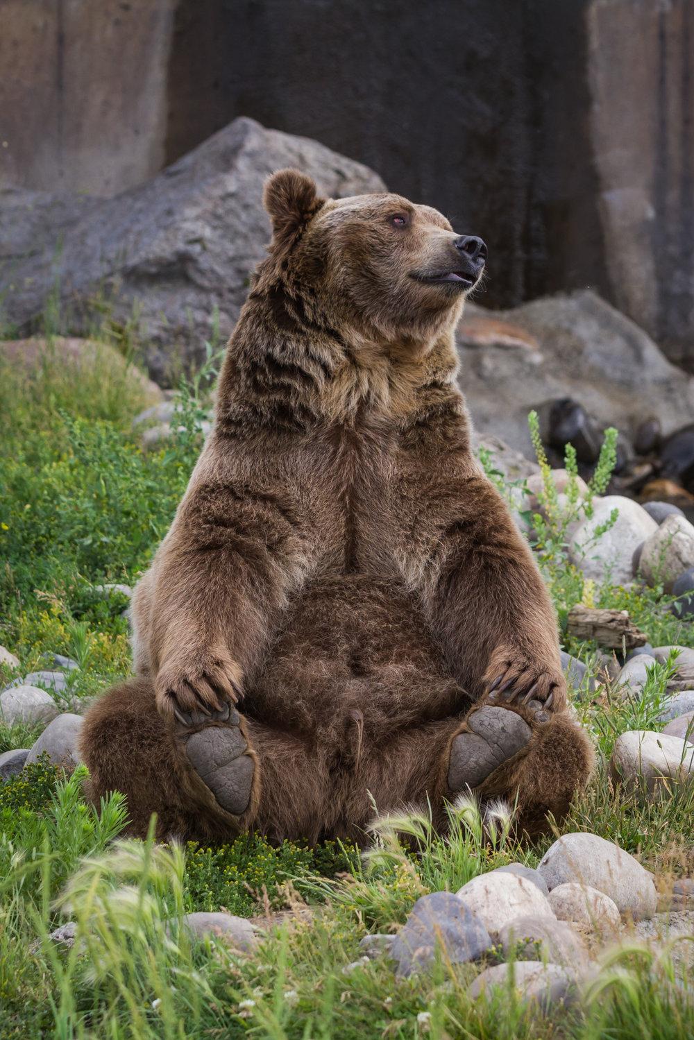 grizzly-bear.jpg