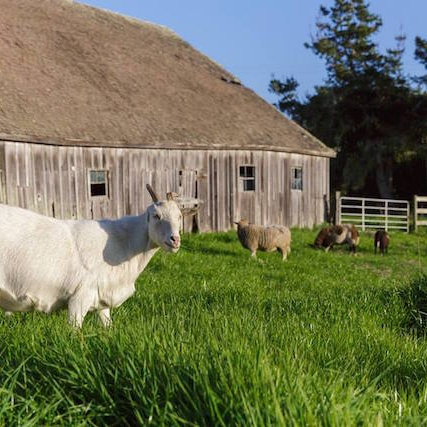 sfist     Hippie Vegan Techies Convert Half Moon Bay Farm To Animal Sanctuary
