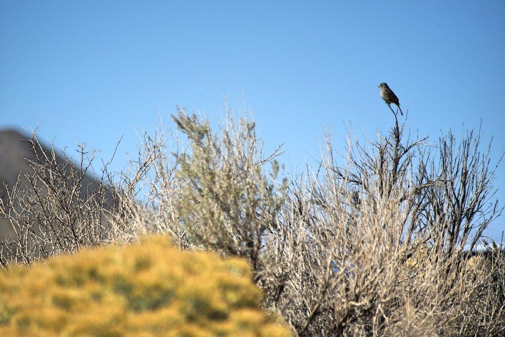 NevadaBird.jpg