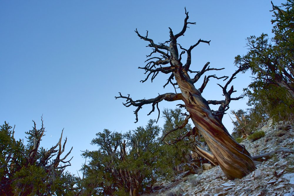 A lot of the old bristlecone pines are twisted and gnarled like this one.