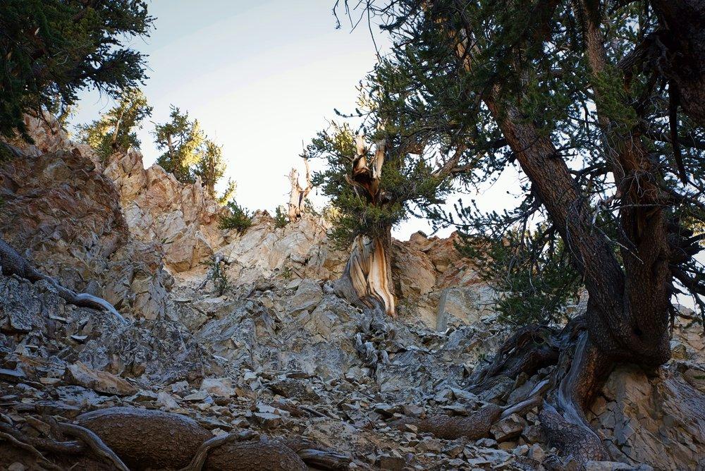Could this tree growing on the rocks be Methuselah?