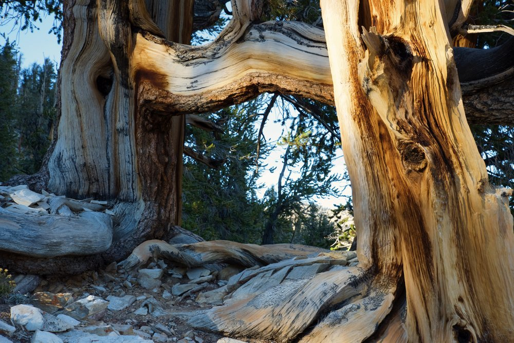 Perhaps one of these is the world's second oldest tree?