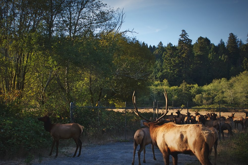 We spotted these elk just off the roadway in Prairie Creek Redwoods State Park, and we had to stop to let them cross.