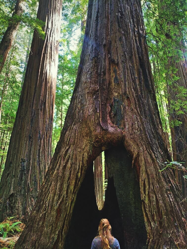 LookingataHollowRedwood.jpg