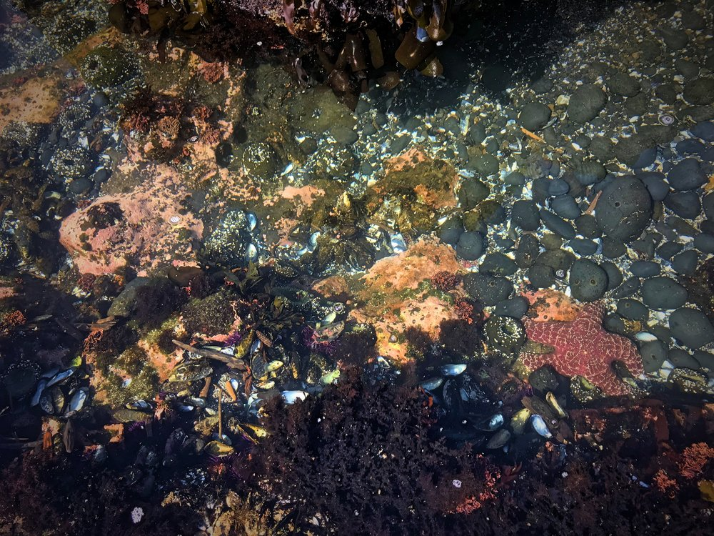 "Ocre sea stars are the real ""star"" of the show in the tidal pools."
