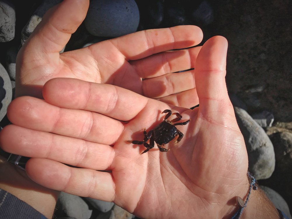 Ian found a bunch of these tiny purple crabs under some of cobble stones.