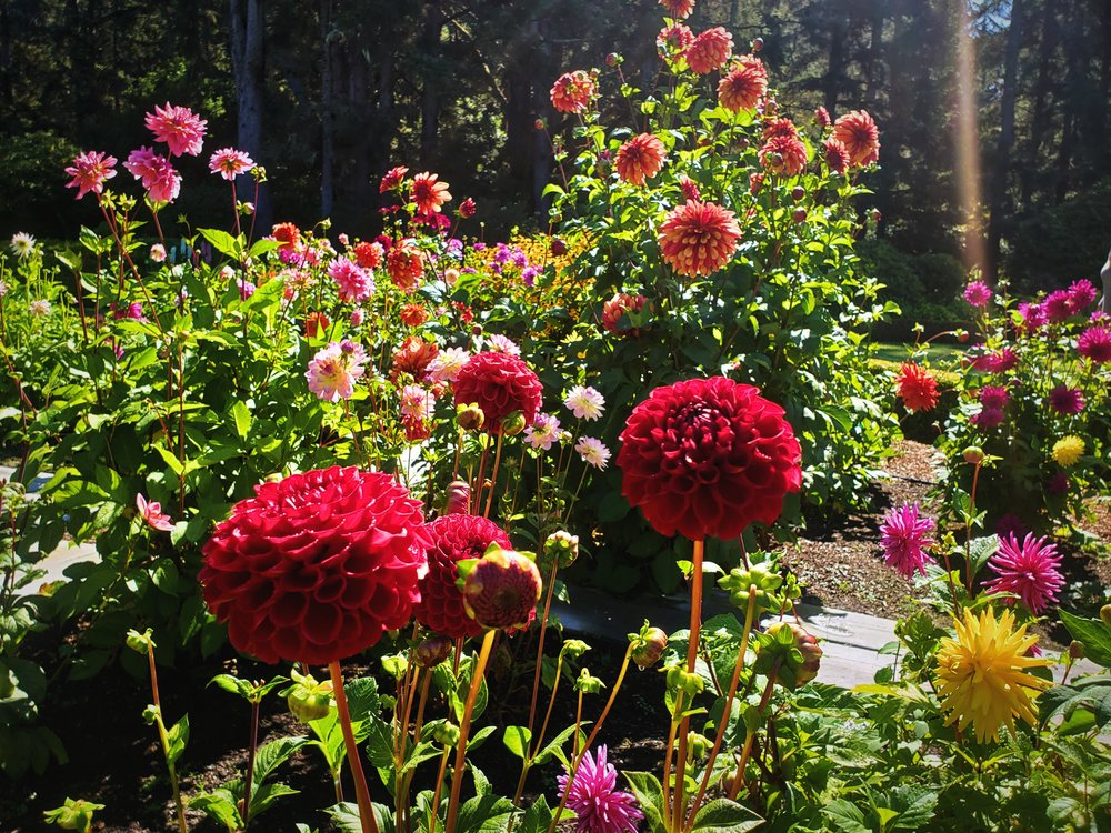 Perhaps, even more beautiful than the roses were the Dahlias in the center of the English Garden.