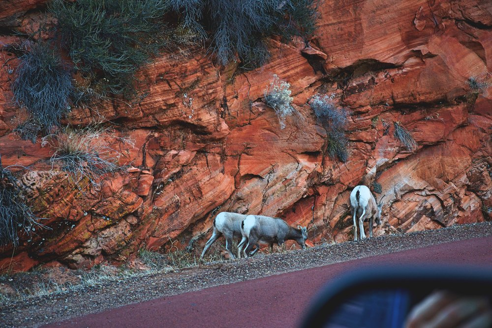 We spotted these desert bighorns while driving through Zion National Park in December