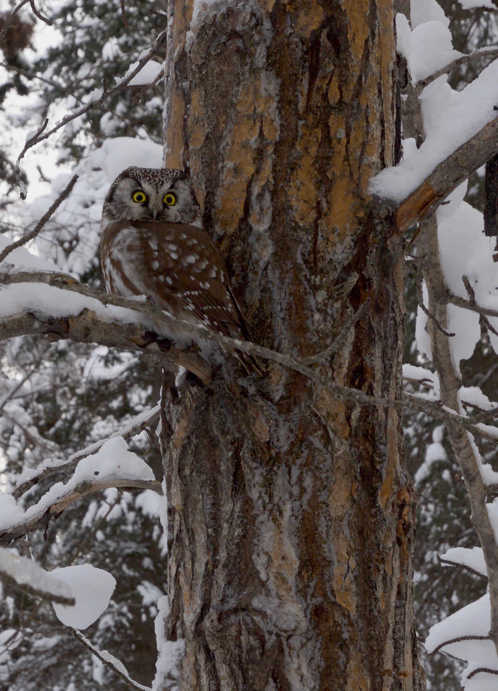A boreal owl outside Mark Vail's house