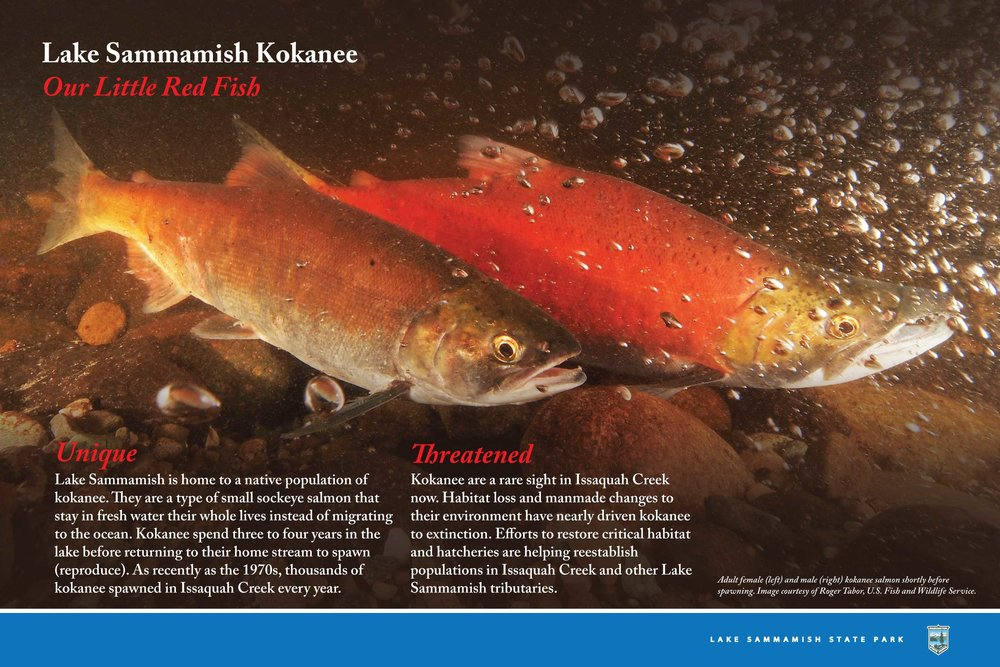 Kokanee-LakeSamm_Panel3_4.24.2015.jpg