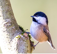 Black-capped-Chickadee-by-Mick-Thompson-November-2014-B-WS.jpg