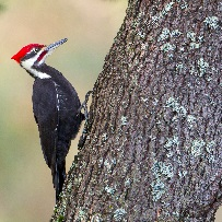 Pileated-Woodpecker-by-Mick-Thompson-March-2014-B-square.jpg