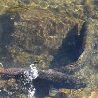 Salmon-sep13-larry-franks-2-square.jpg