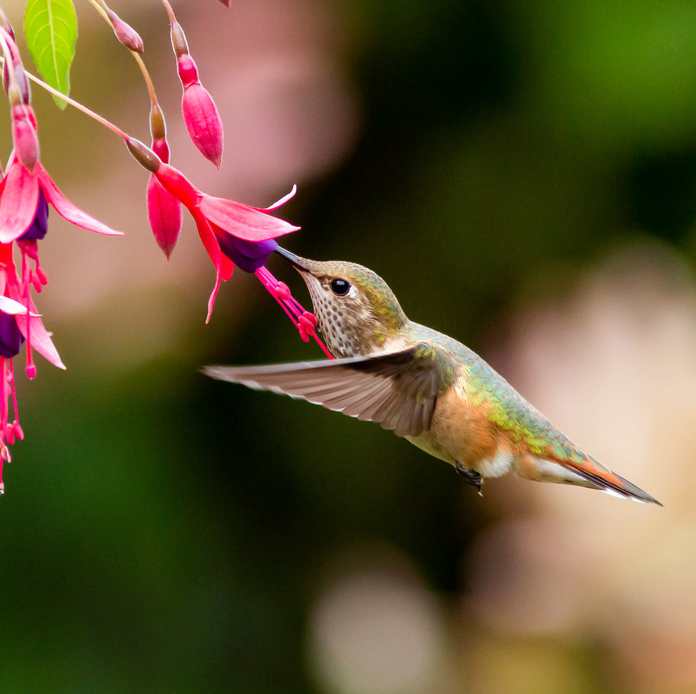 Rufous-Stamen-Flower-Saved-for-web-aueke.jpg