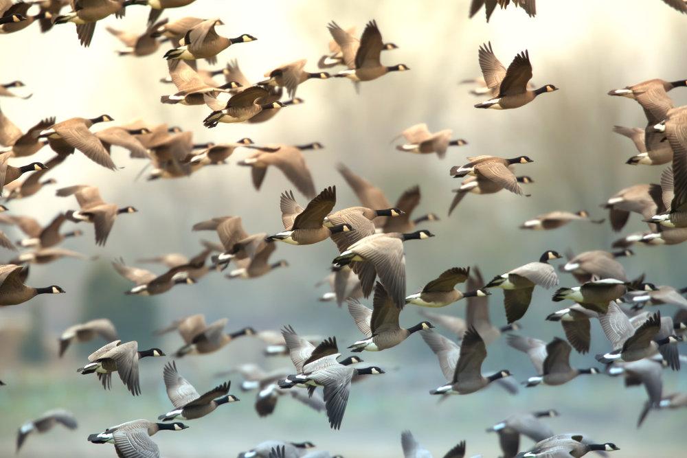 geese-flock-Saved-for-Web-dhgs.jpg