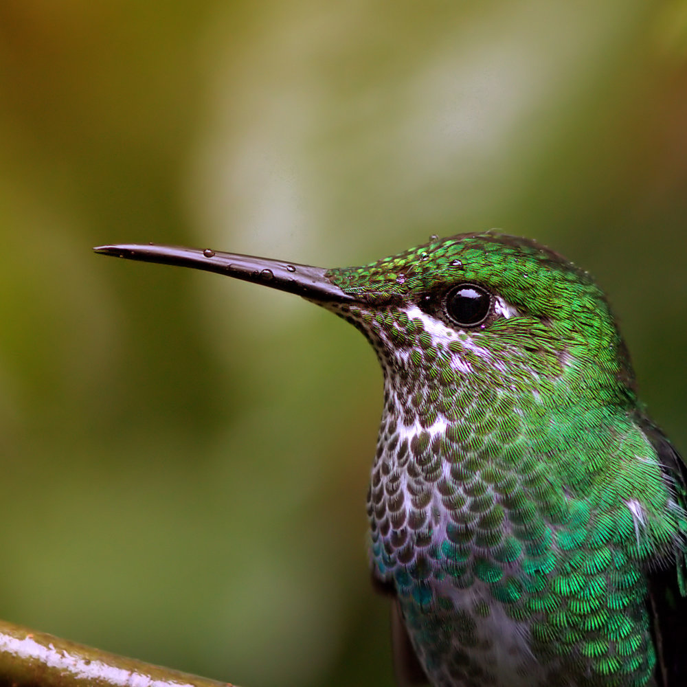 Green-crowned-brilliant-saved-for-Web-akej.jpg