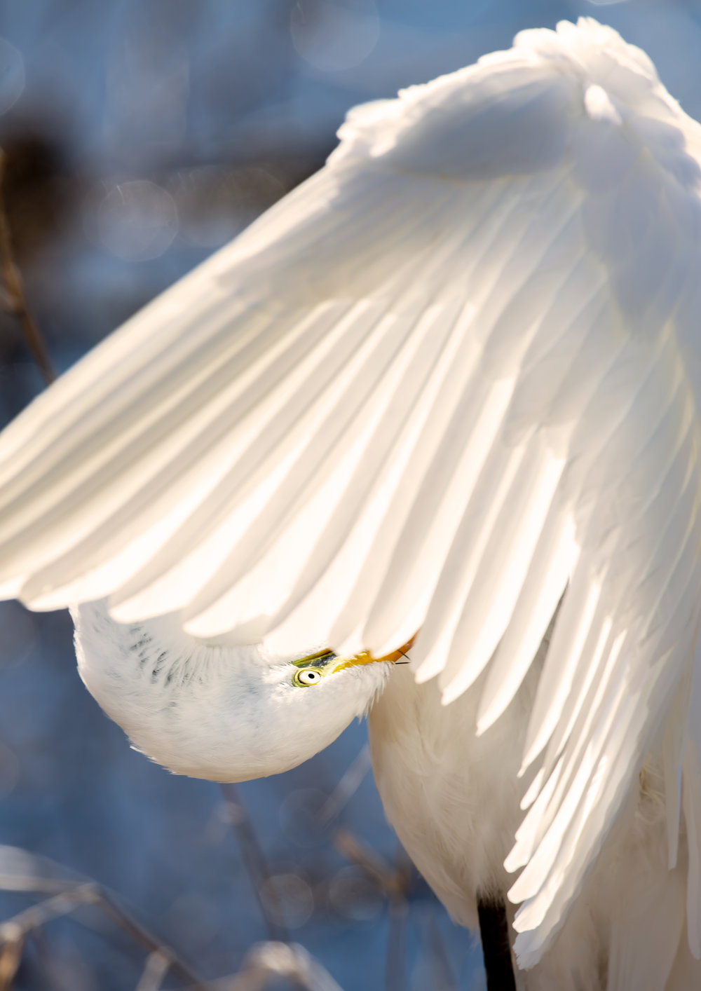 Great-Egret-Preening-Saved-for-web-Cropped-2-jjk.jpg