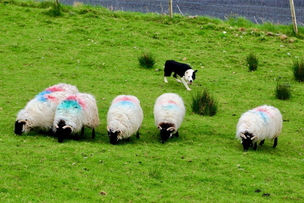 sheepdog_4.jpg