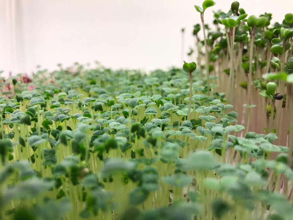 Microgreens - radish.jpg