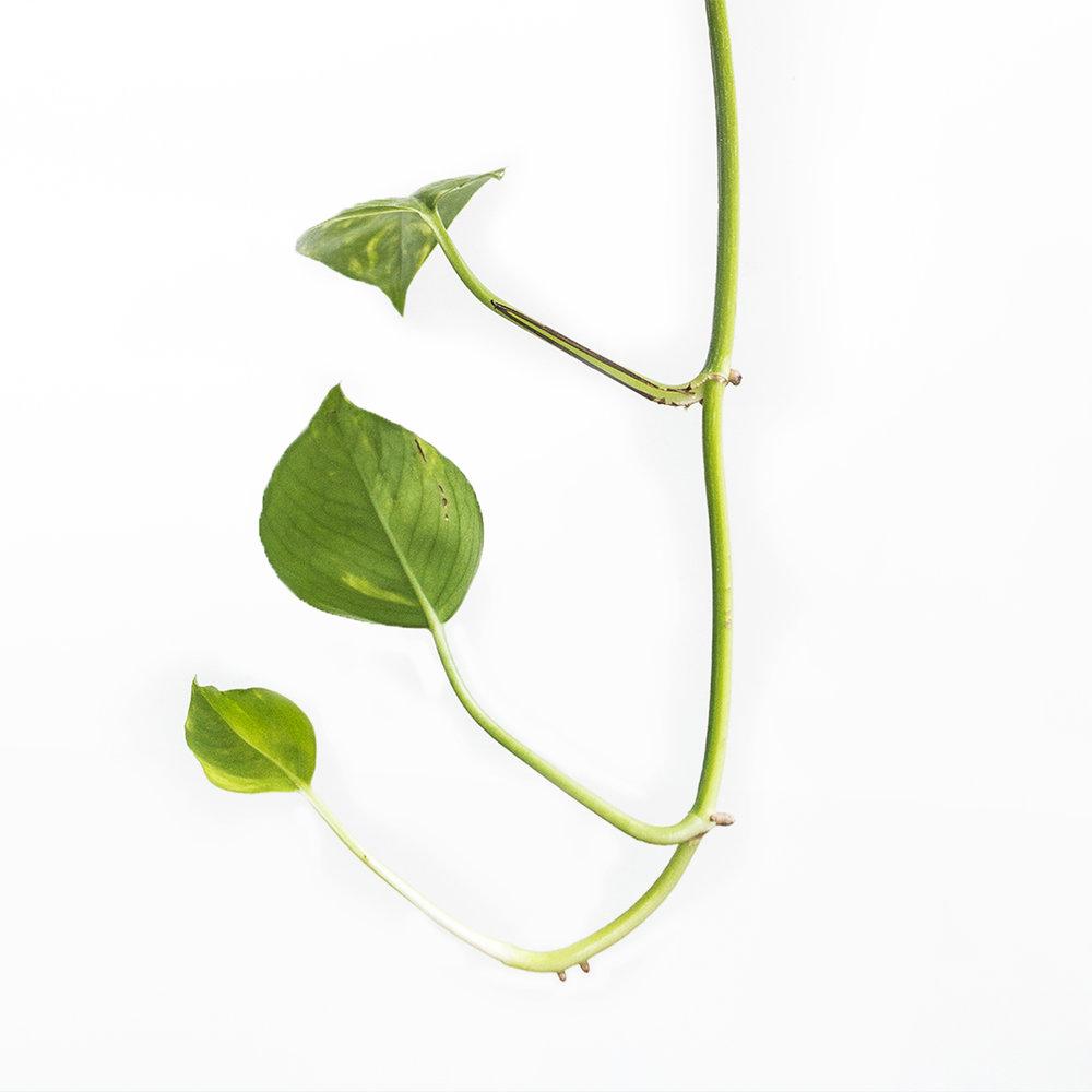 J - Een tak van de hangplant Pothos