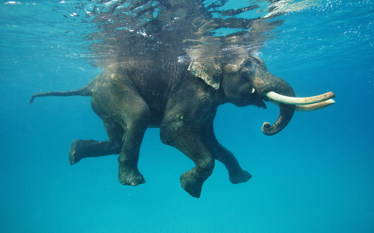 237325-nature-animals-elephants-water-underwater-swimming-blue-reflection-tusk-736x459