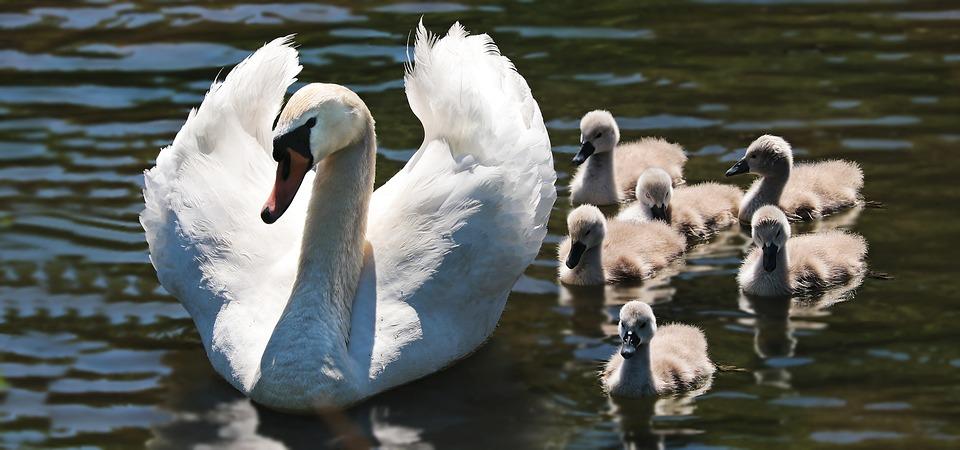 swan_mama.jpg