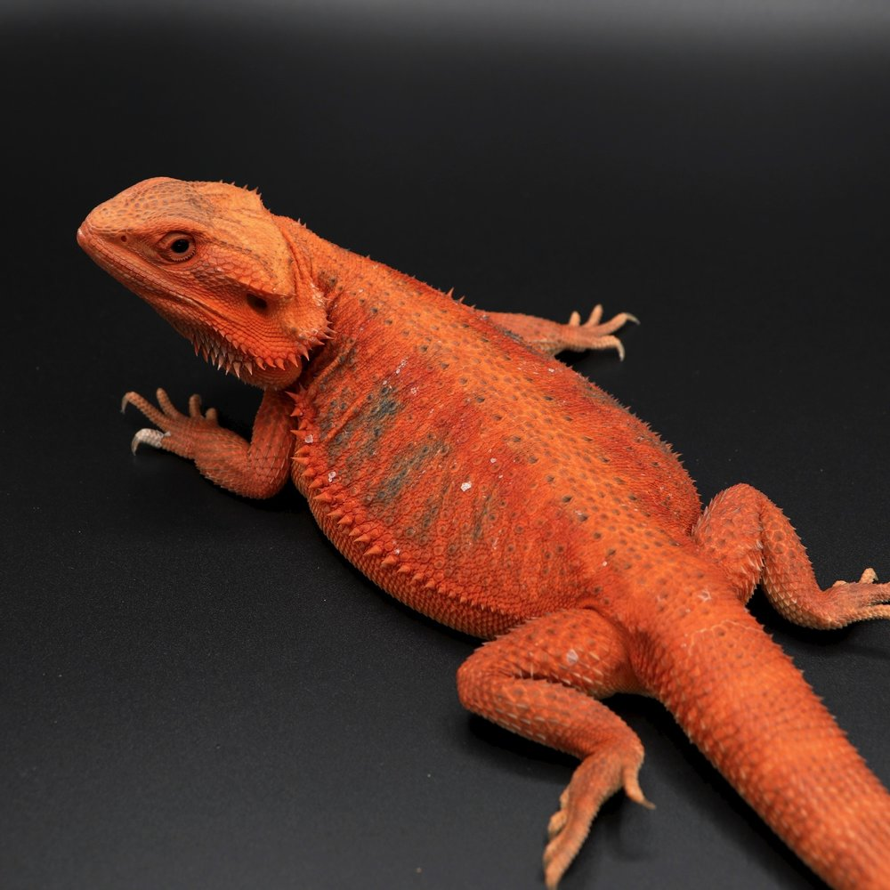Ruby - Red Hypo Trans