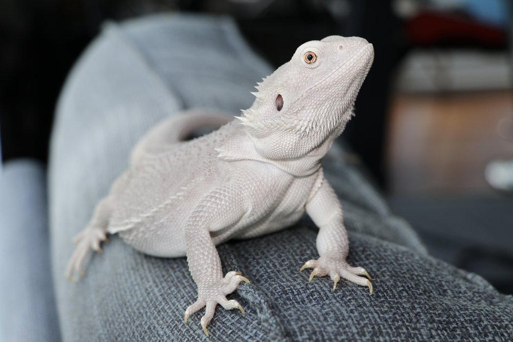 Hypo Translucent Leatherback Dunner Bearded Dragon