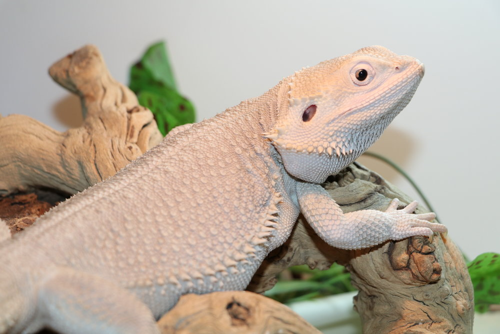 Normal Scaled Bearded Dragon