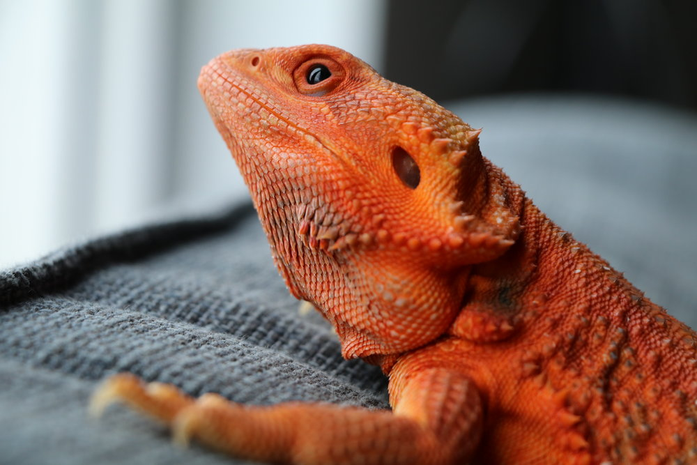 Trans Bearded Dragons