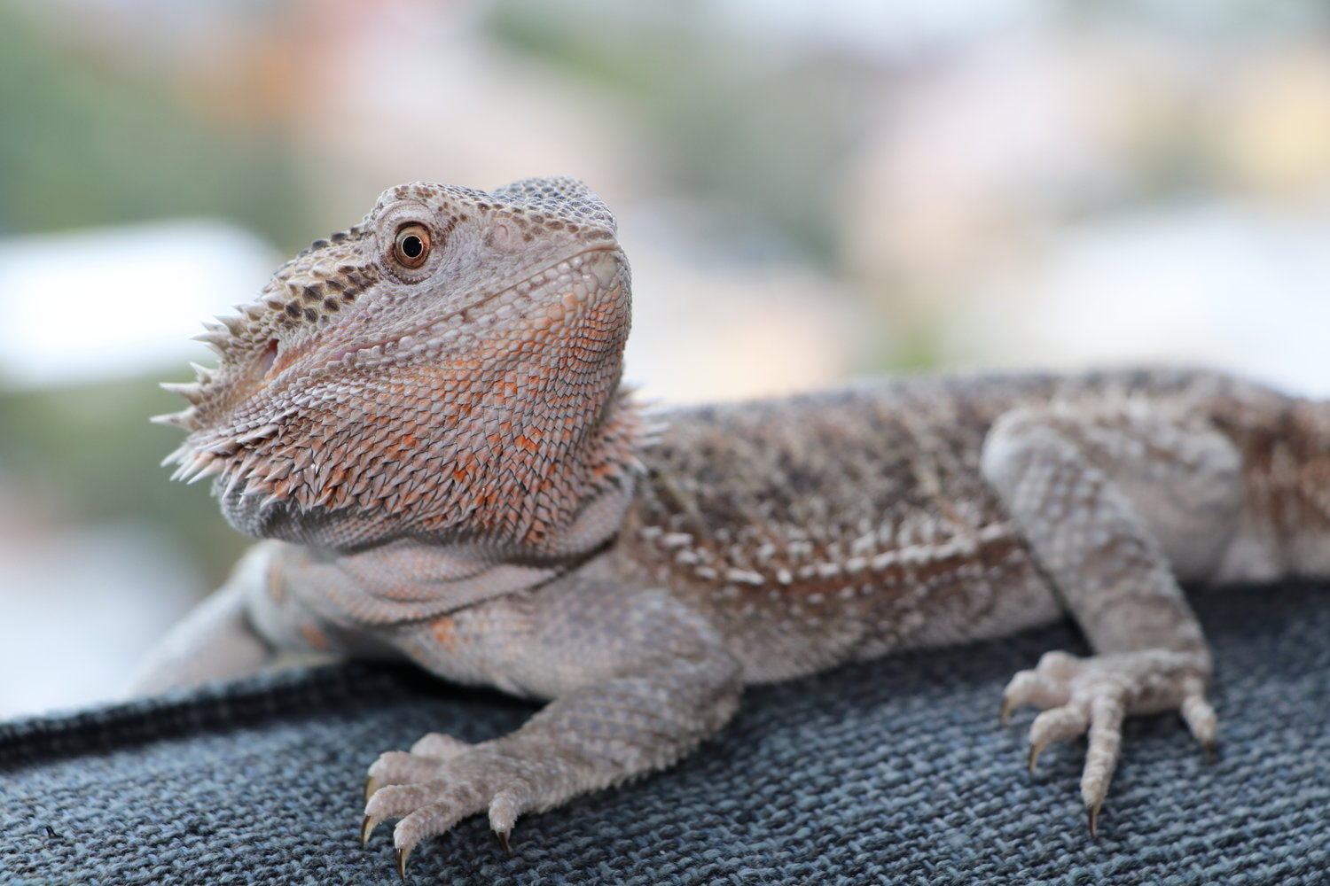One Of The Leatherback Bearded Dragons At Northton Reptile Centre Tortoise Care Chameleon Lizard