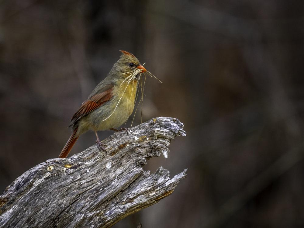 Cardinal with Nesting Material