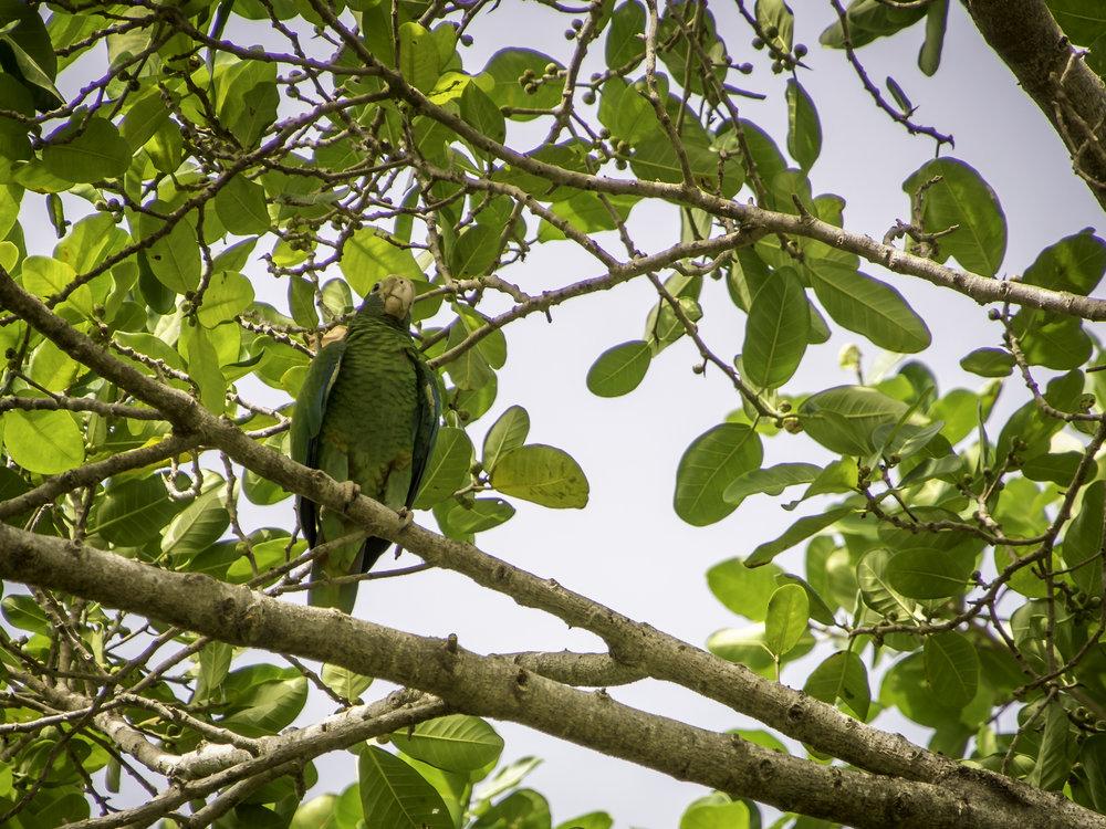 Hispaniolan Parrot