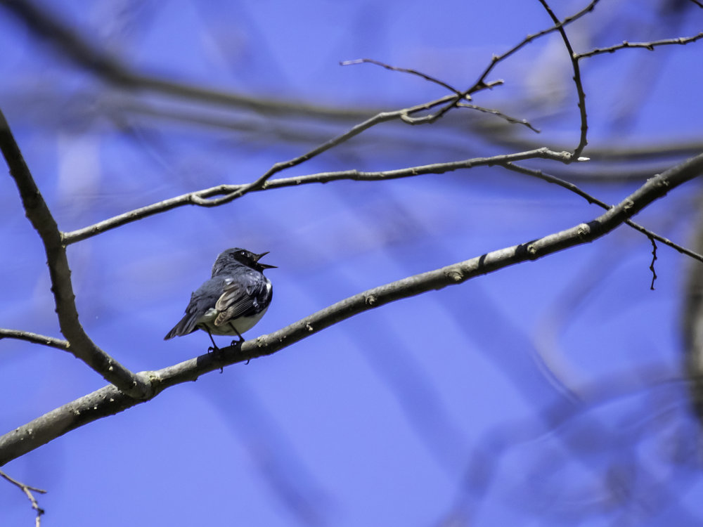 Black Throated Blue Warbler