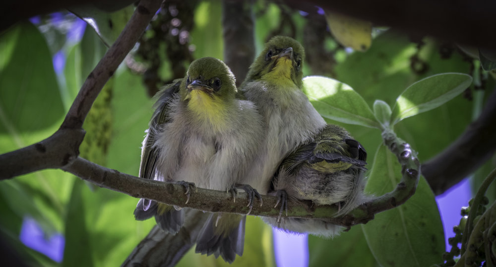 Yellow Thoated Vireo - Baby
