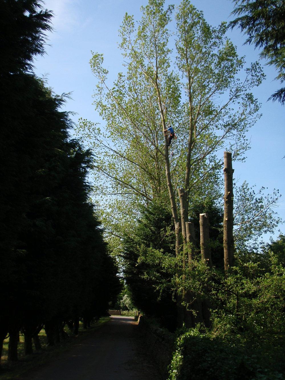 Poplar dismantling - Lavender Hill, Naunton, Gloucestershire