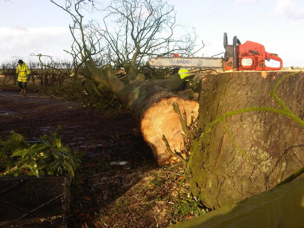 Roadside tree felling - Malton, North Yorkshire