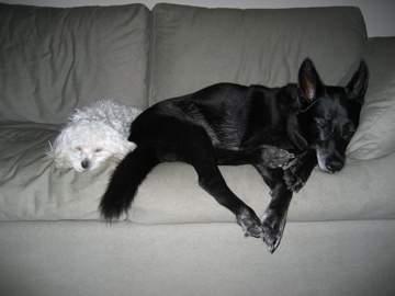 """RIP Rudy Rossman.  Fourteen years ago Vanessa fell in love with Rudy (the """"RU"""" in TORU)at the North Shore Animal League in Port Washington, NY. It was love at first sight. He had a little pot belly and his ears were bent in half. He was 7 weeks old and the last of his litter to be adopted. Through his """"destructive"""" underwear eating terrible twos to his more mellow years, Rudy has always been right at Vanessa's side through thick and thin. A ladies man (he was no dummy), a buddy and a protector – Rudy possessed all the qualities that anyone can ask for in a best friend. Everyone who got to know Rudy, loved him and knew they were loved right back.  Like a true New Yorker, Rudy got to spend his golden years down in Miami. Chilling out to Miles Davis, sunning himself on the terrace & chowing down on plenty of bar-b-q. Unfortunately, Cancer got the best of him and this day was inevitable. We know that Rudy is somewhere up there smiling down at us while chilling out to some Jazz and dismantling a squeaky toy.  Rudy will be missed and will never be forgotten."""