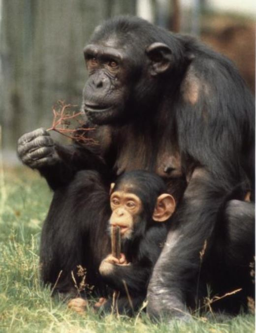 Female chimpanzee, Zwart, with her one-year old daughter, Zola. From de Waal's  Chimpanzee Politics  (1982).