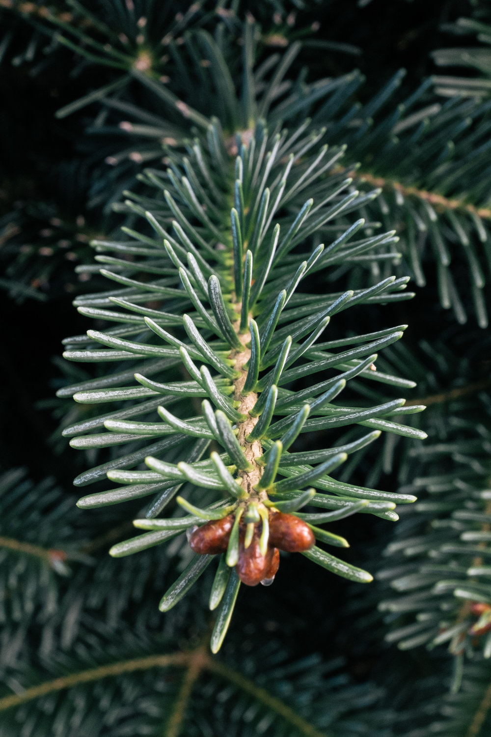 Bracted_Balsam_Fir_needles.jpg
