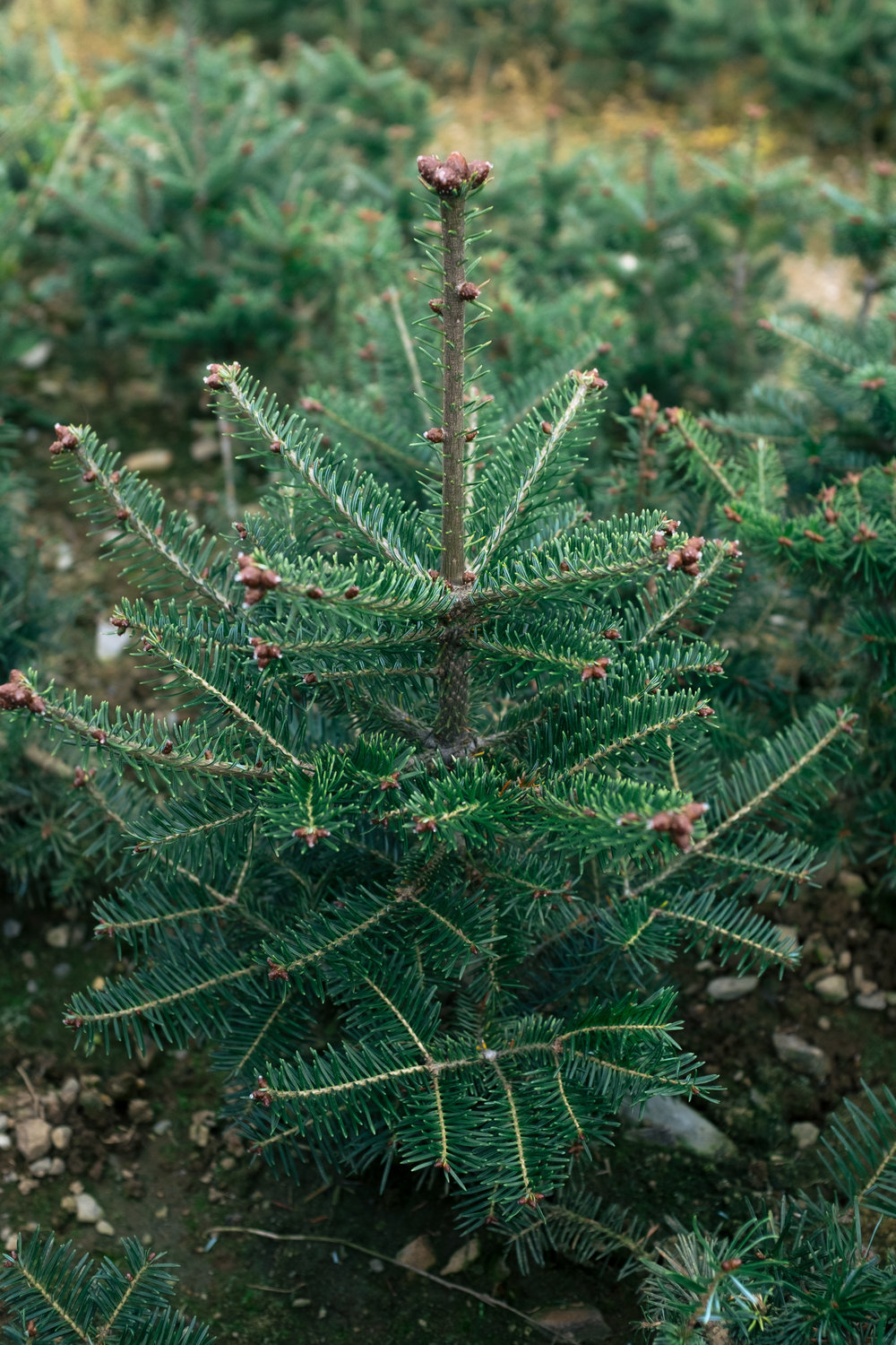 Bracted_Balsam_Fir_tree.jpg