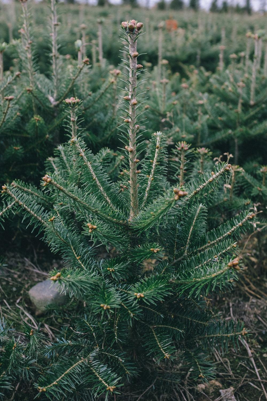 Fraser_balsam_tree.jpg