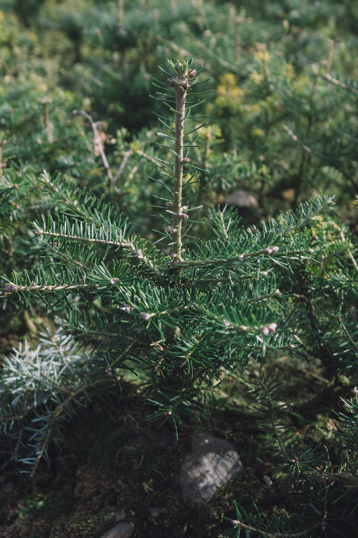 Korean_fir_tree.jpg