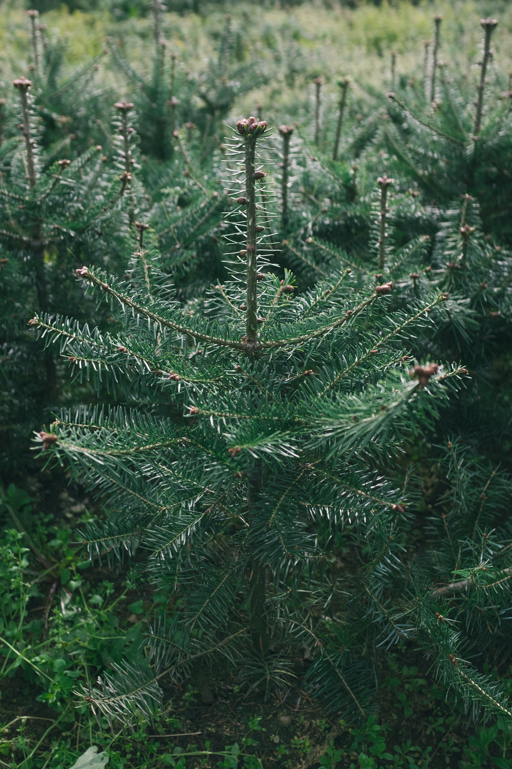 Balsam_fir_tree.jpg