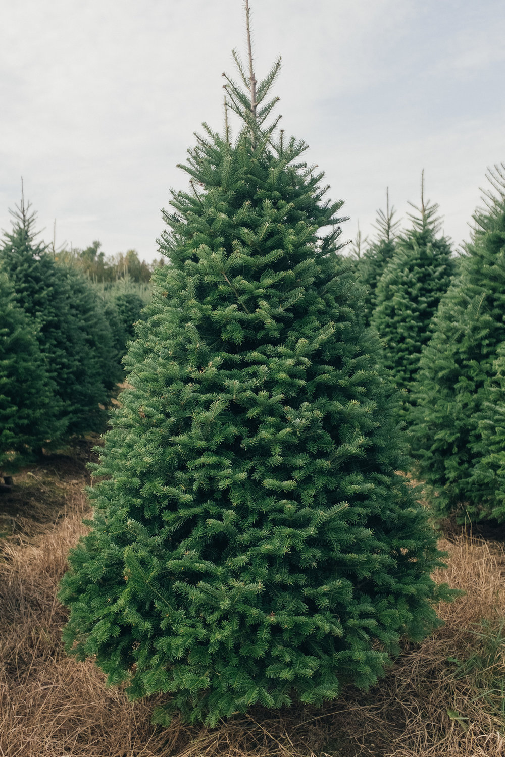 Balsam_fir_wholesale.jpg
