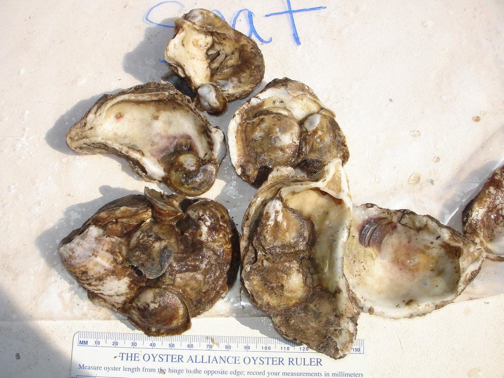 Six-month old oysters settled on hatchery deployed shells.