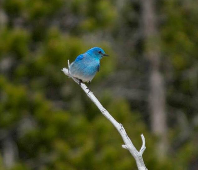 Merissa mountain blue bird in Yellowstone.jpg