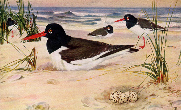OYSTER-CATCHER • Birds of North Carolina • 1912