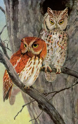 SCREECH OWL • Birds of North Carolina • 1912