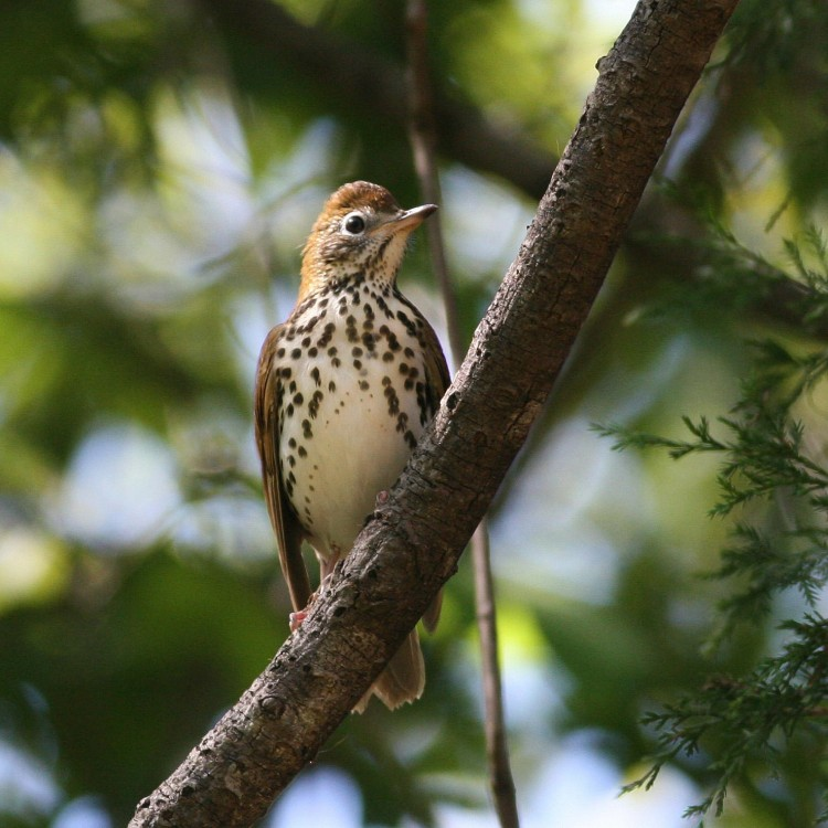 Wood Thrush photo by Will Stuart